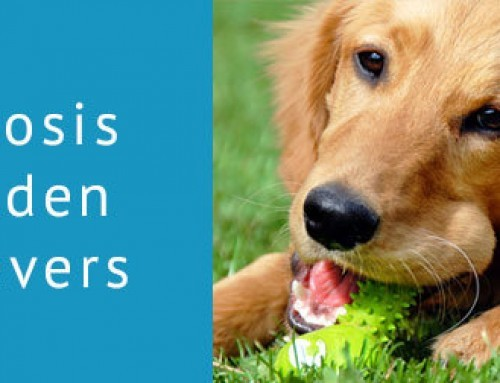 Ichthyosis in Golden Retrievers