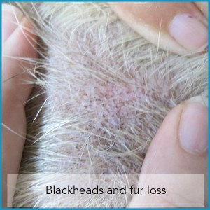 Blackheads and Fur Loss in Dogs