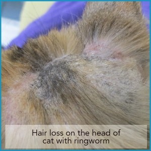 Hair loss on the head of a cat with ringworm