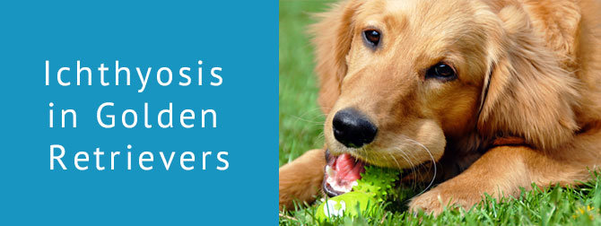 Ichthyosis In Golden Retrievers The